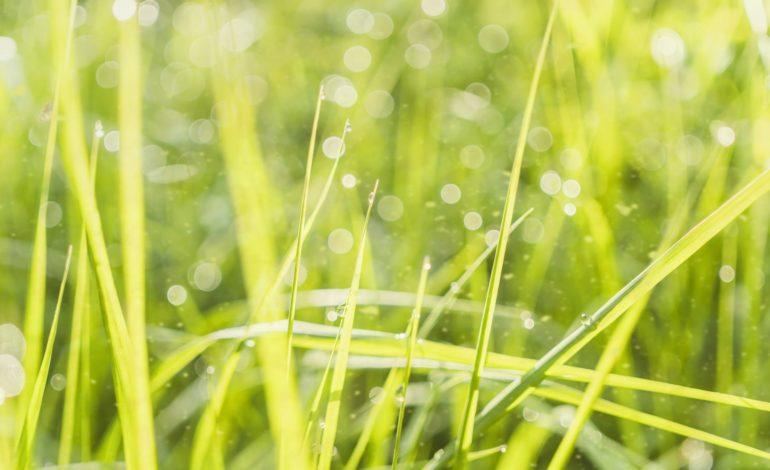Grass Pollen Allergies Asthma North Texas